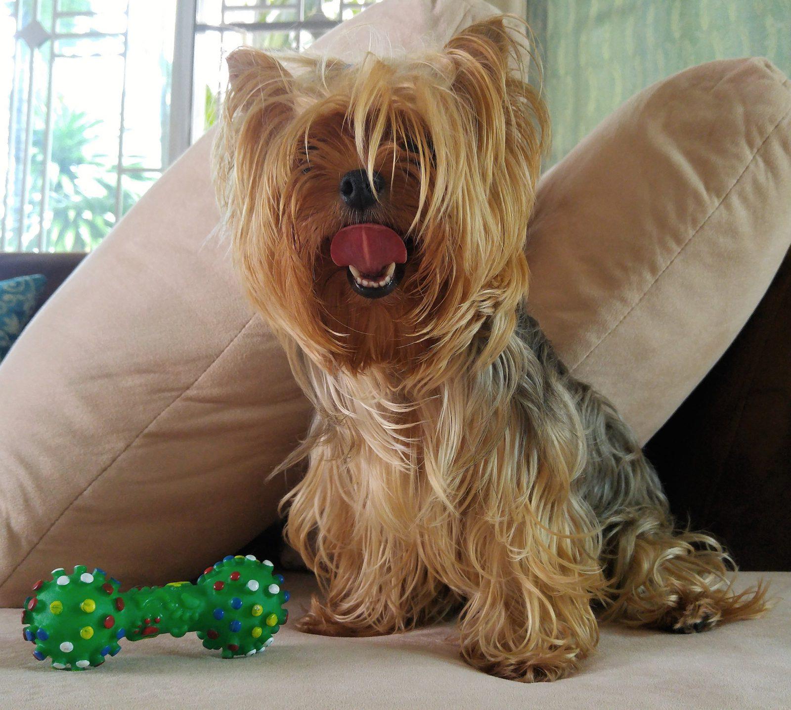 Tipos de Brinquedos para cachorros: Yorkshire no sofá de casa com seu brinquedo de cachorro favorito de mastigar.