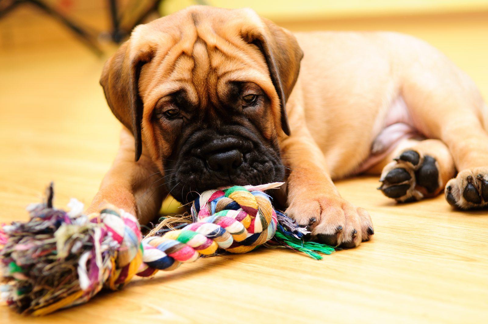 Tipos de Brinquedos para cachorros: Filhote de Bulmastife brincando com um brinquedo de cachorro de cordas.