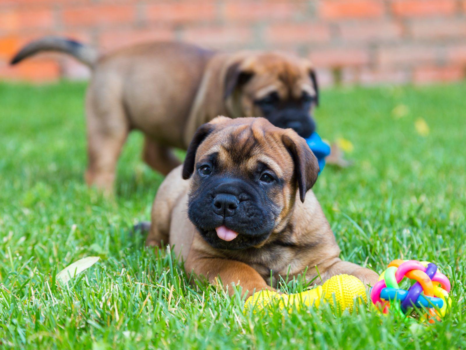 Filhotes de Bulmastife brincando e interagindo juntos no gramado com vários brinquedos para cachorros diferentes.