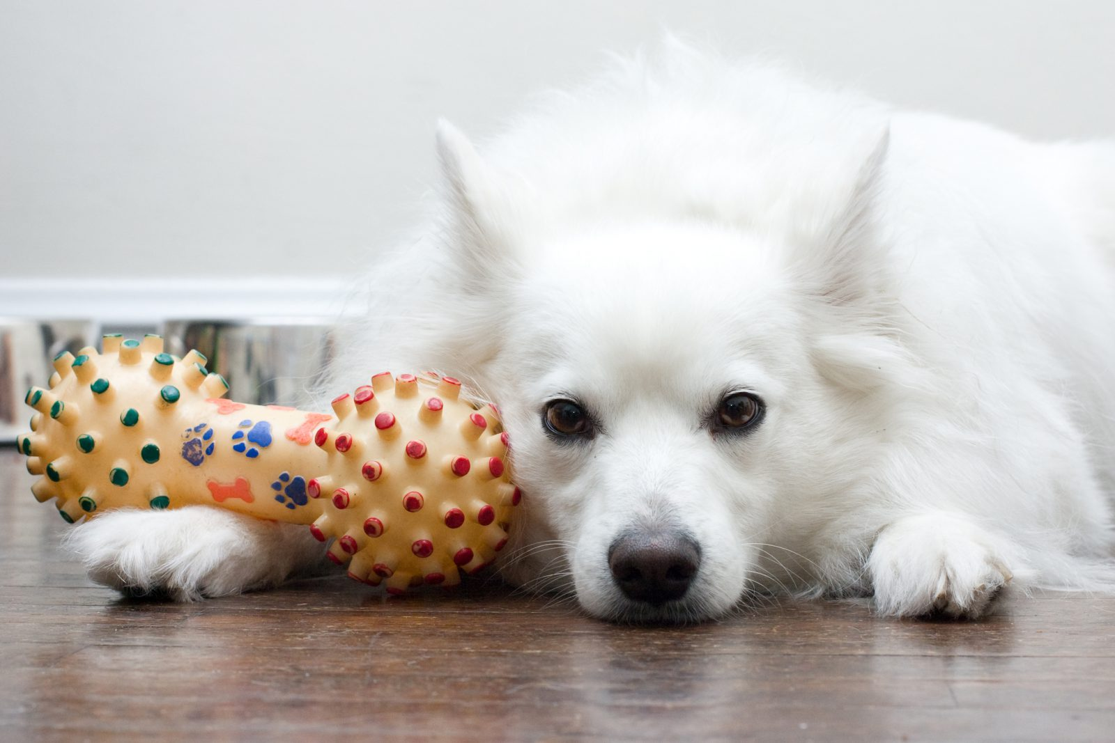 Os brinquedos para cachorros fazem bem para a saúde mental e física do cachorro.
