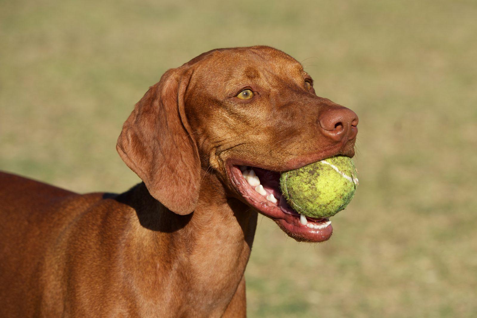 Brinquedos para cachorros: Vizsla brincando de fetch com uma bolinha de tênis.