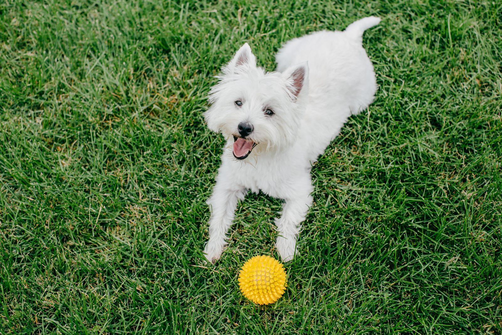 Tipos de Brinquedos para cachorros: West Highland White Terrier brincando com bola no parque.