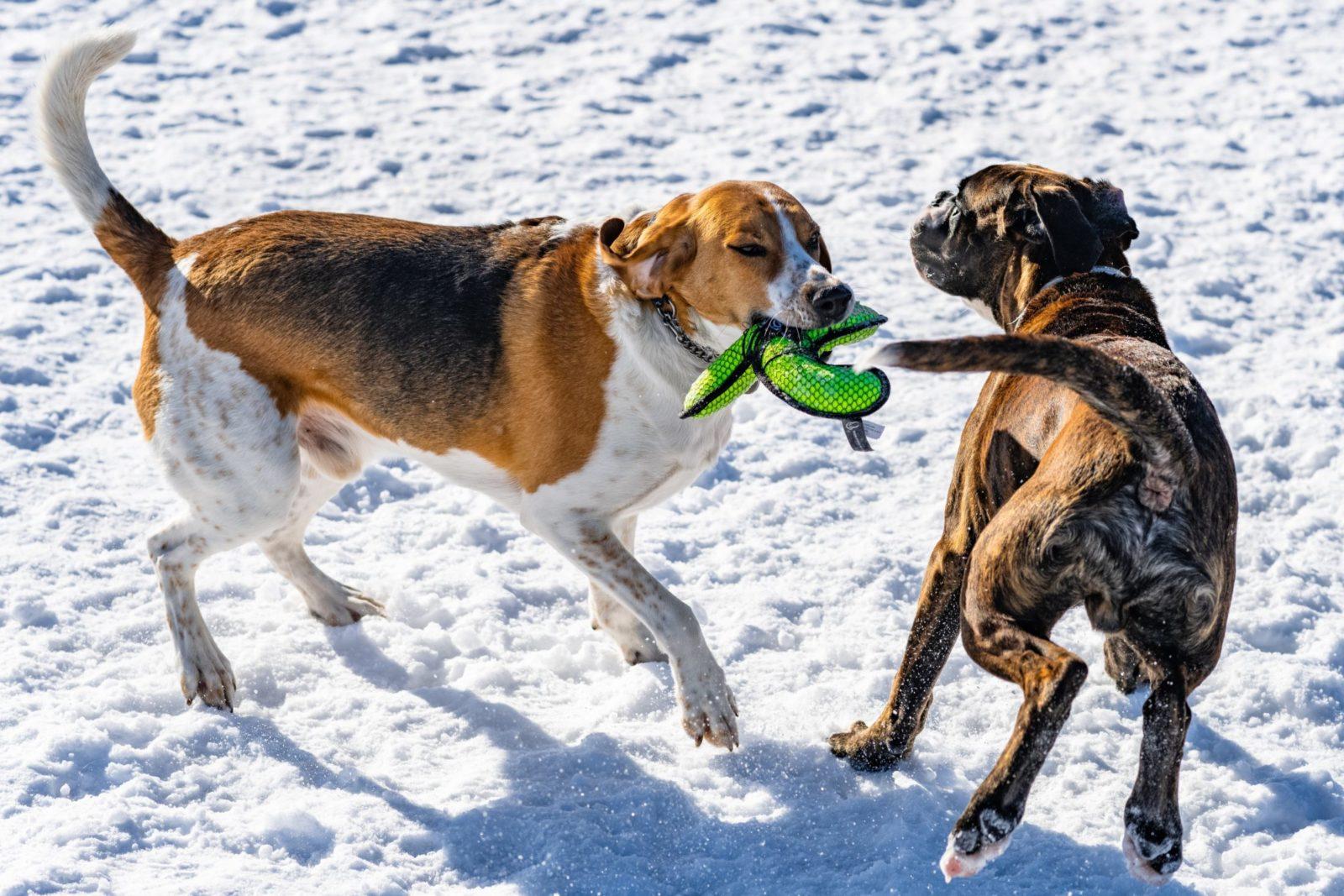 Os melhores brinquedos para cachorro grande são so interativos e resistentes.