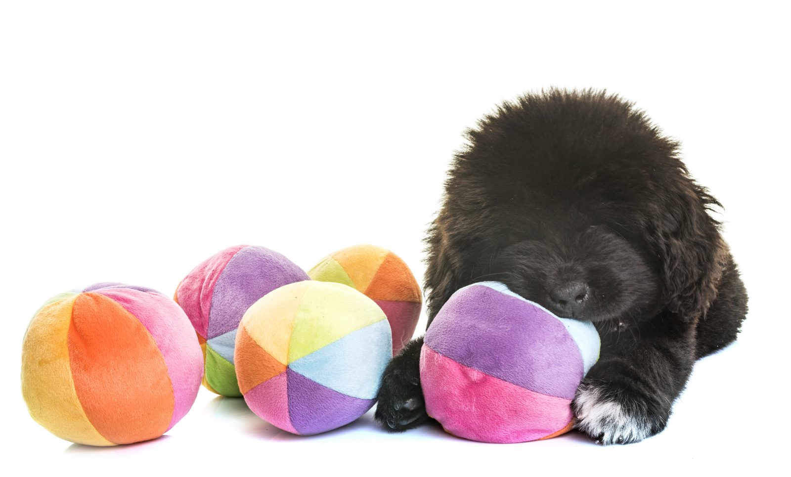 Filhote de Terra Nova (Newfoundland) preto brincando com uma série de bolas de brinquedos para cachorro