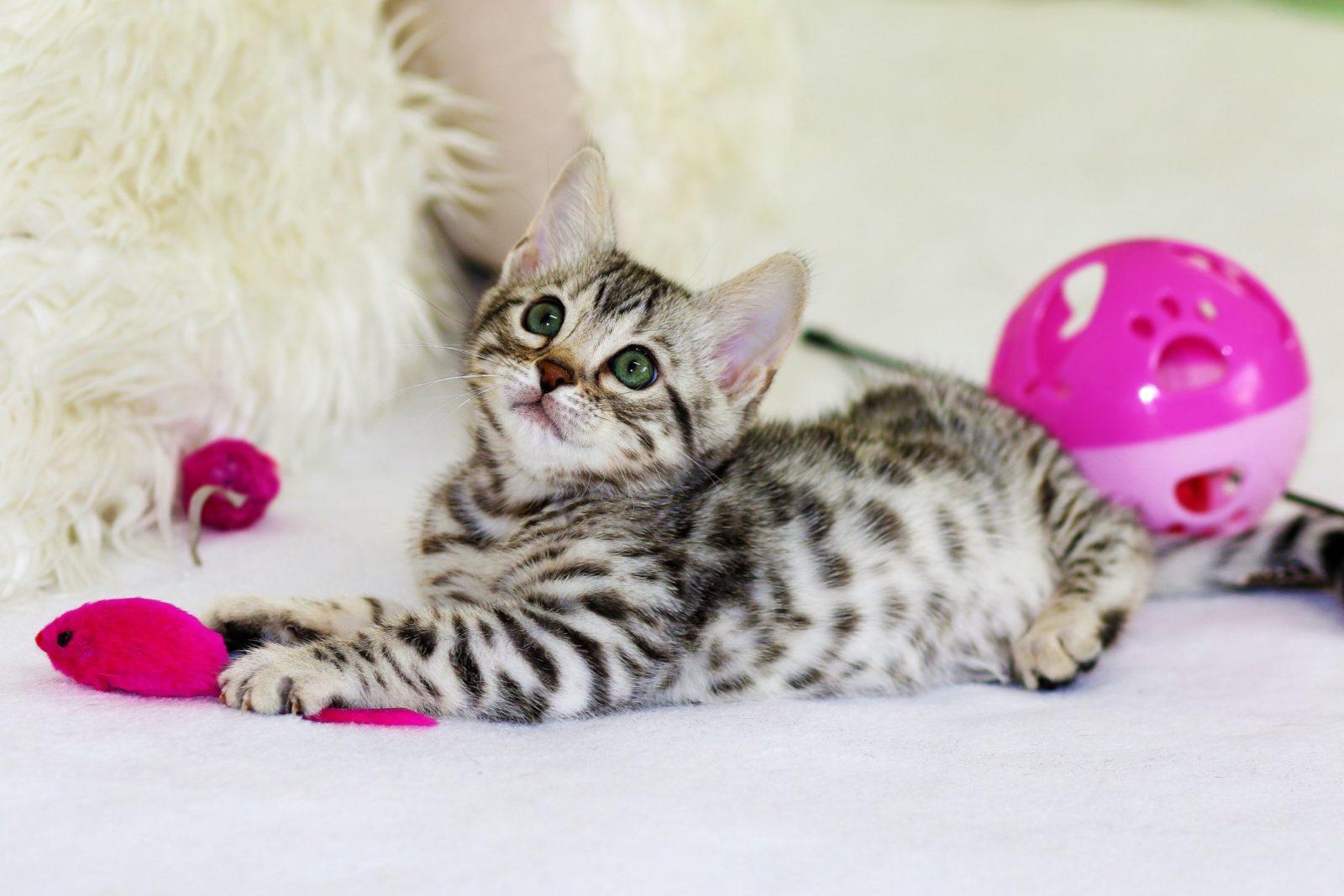 filhote de gato em meio a muitos brinquedos para gatos