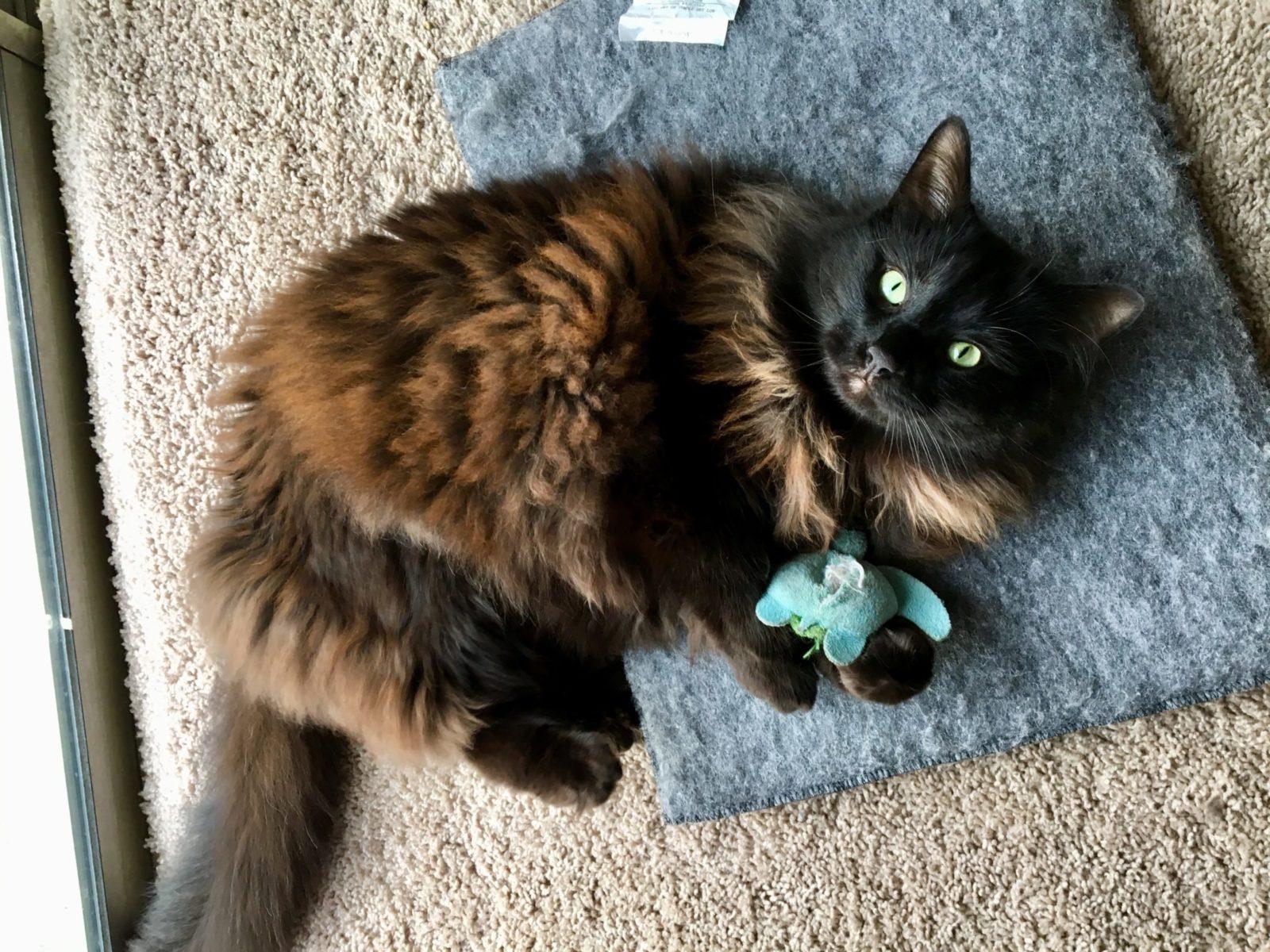 gato castanho brincando com brinquedo