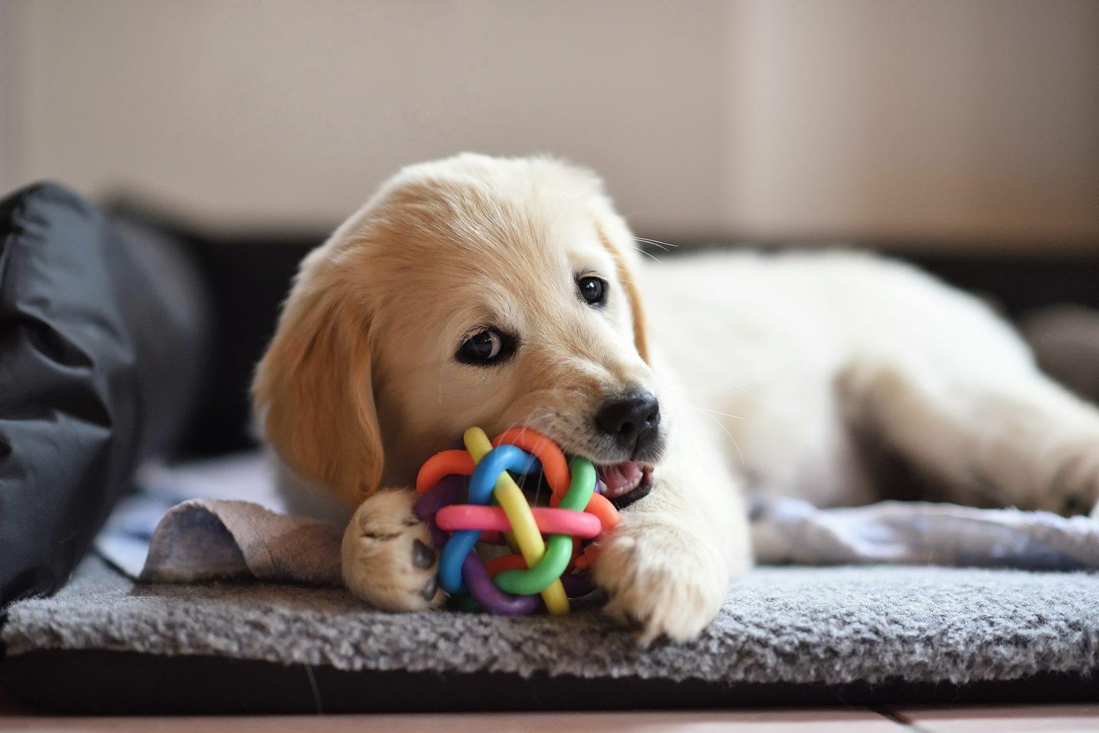 Brinquedos Para Cachorro Enjoam Como Solucionar O Problema