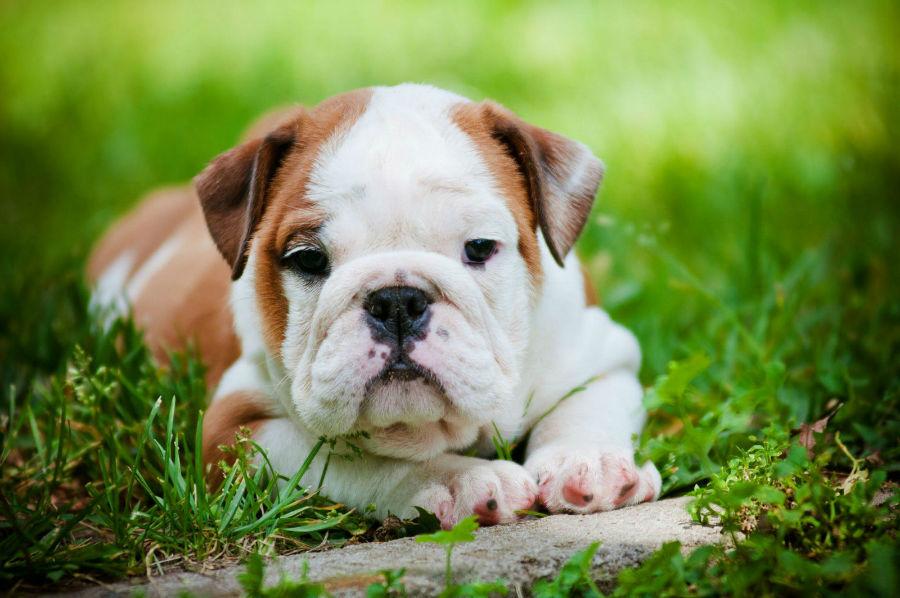 cachorro-buldogue-aparencia