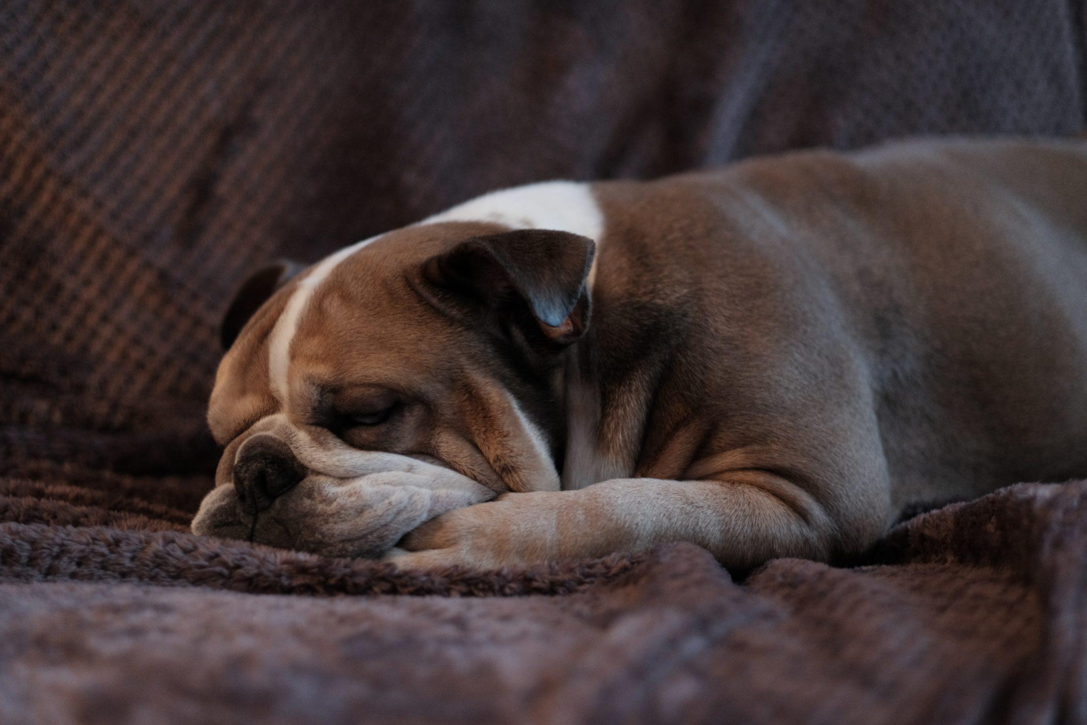 buldogue inglês dormindo no sofá