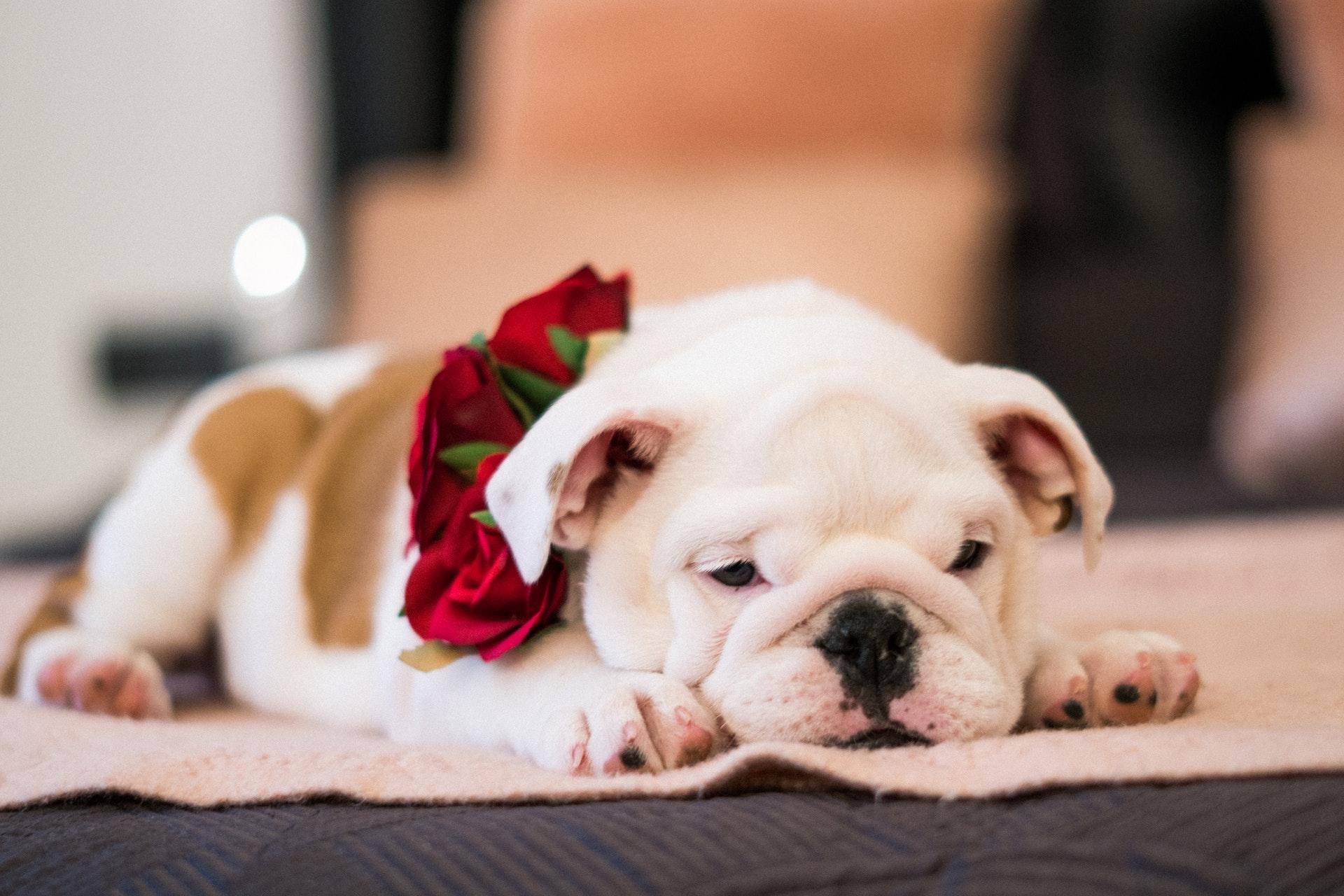 buldogue inglês branco e castanho deitado no chão com rosas vermelhas