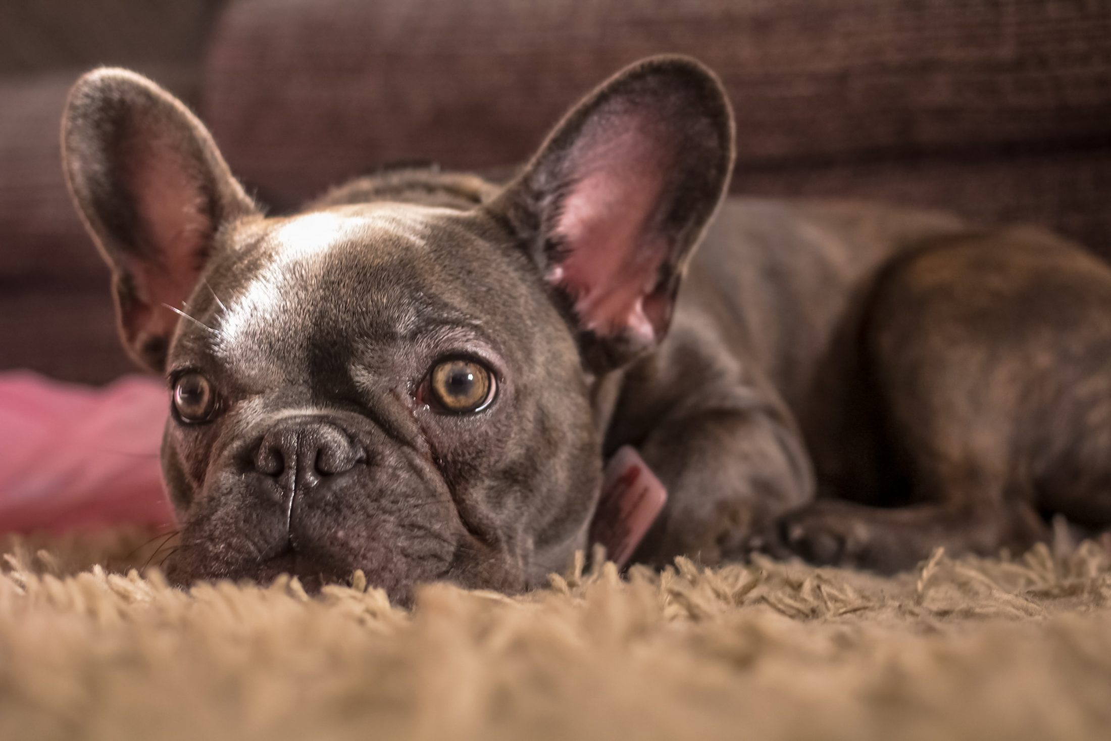 buldogue francês cinza deitado no tapete