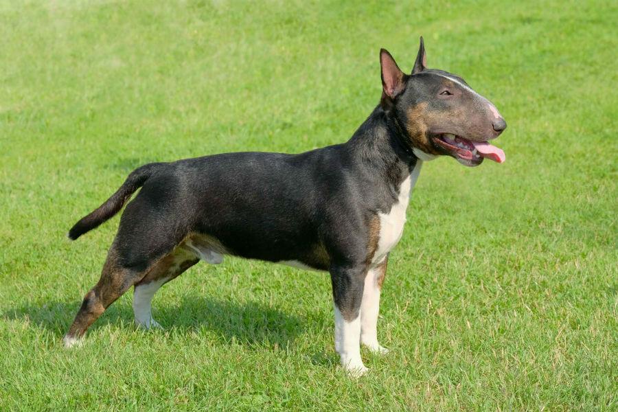 cachorro-bullterrier-cuidados