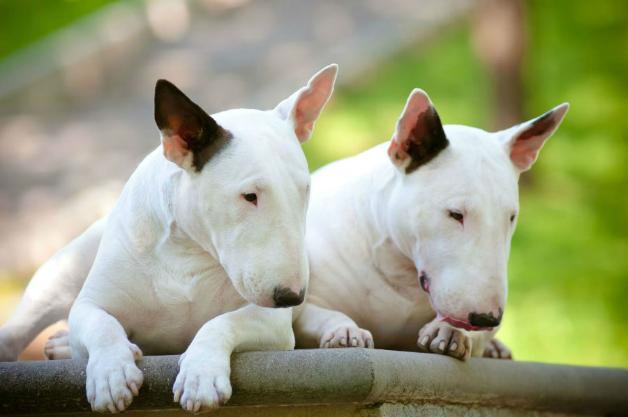 cachorro-bullterrier-intro