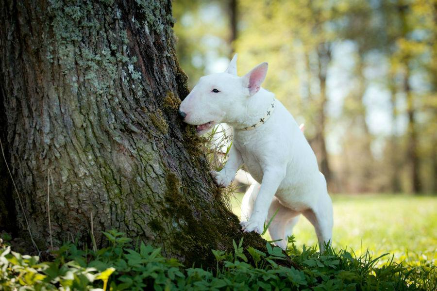 cachorro-bullterrier-origem