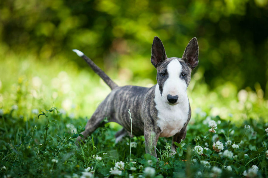 cachorro-bullterrier-saude