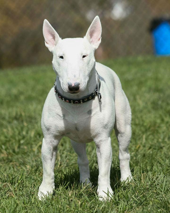 cachorro-bullterrier-temperamento