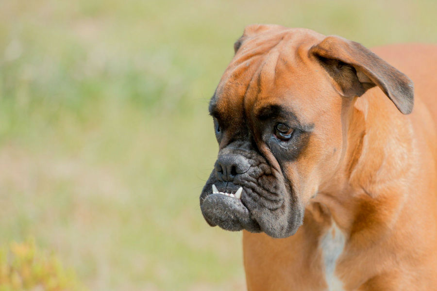 bully-boxer