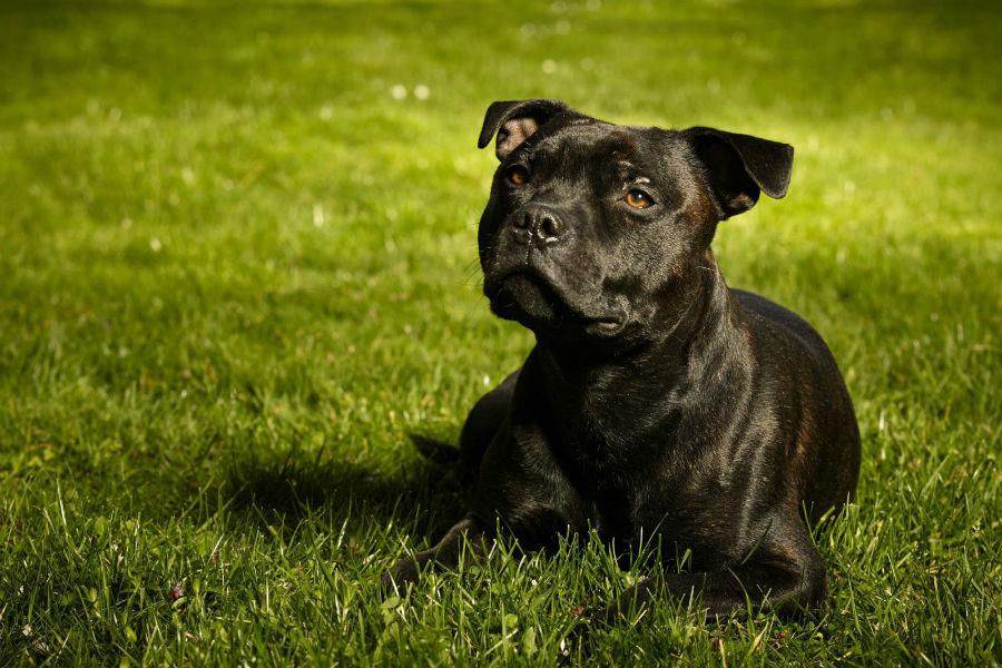 bully-stafford-bull-terrier