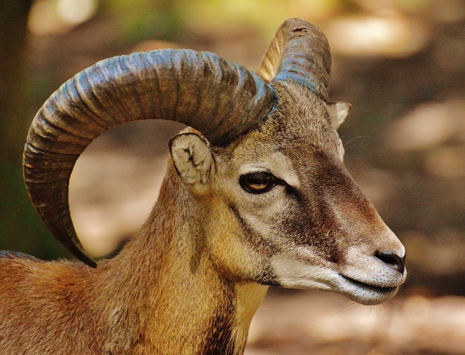 A cabra faz parte de muitos mitos e lendas folclóricas e culturais.