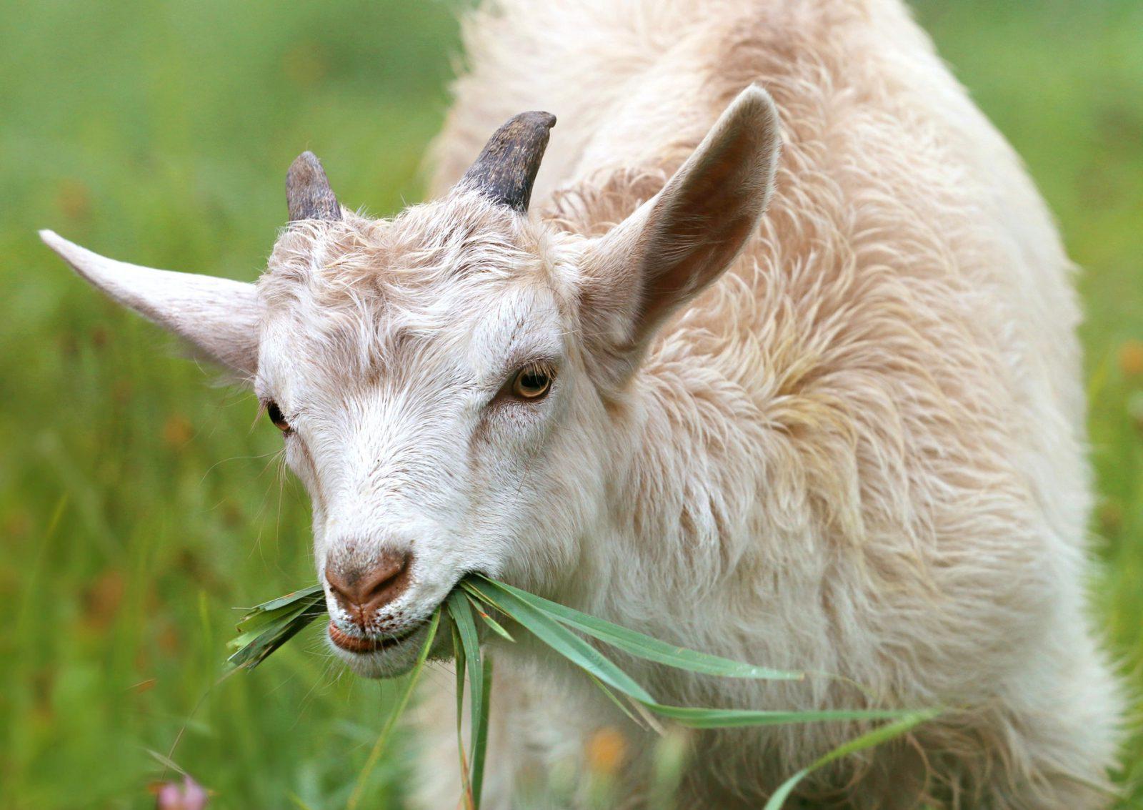 A cabra é uma nimal manso que vive em rebanhos.