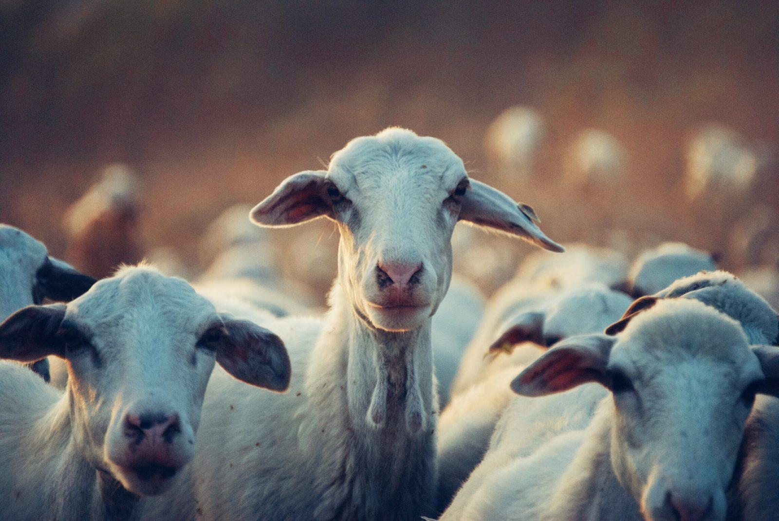 A cabra foi um dos primeiros animais a serem domesticados.