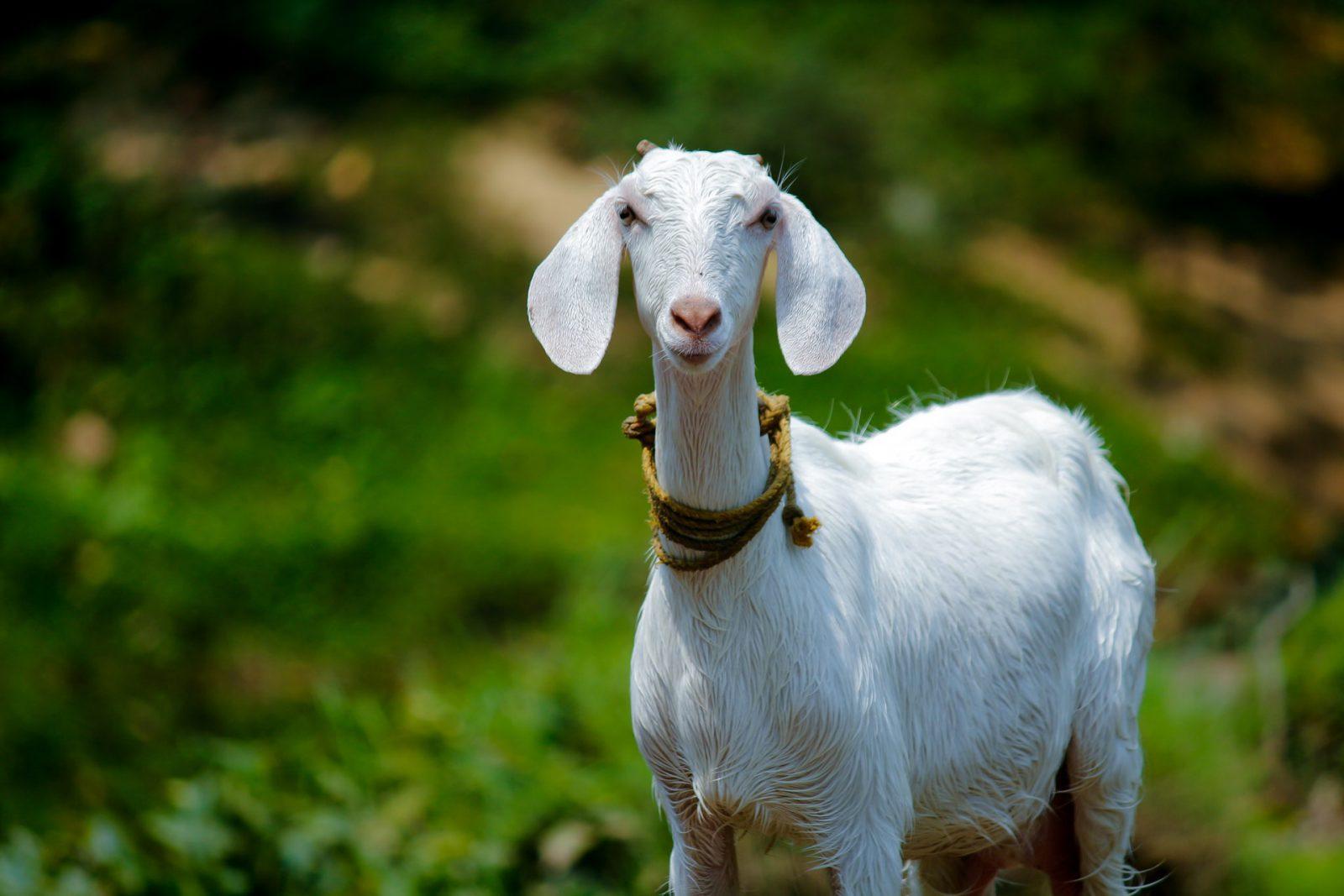 A cabra é um animal que pode sobreviver em tudo quanto é região, inclusive adversas.