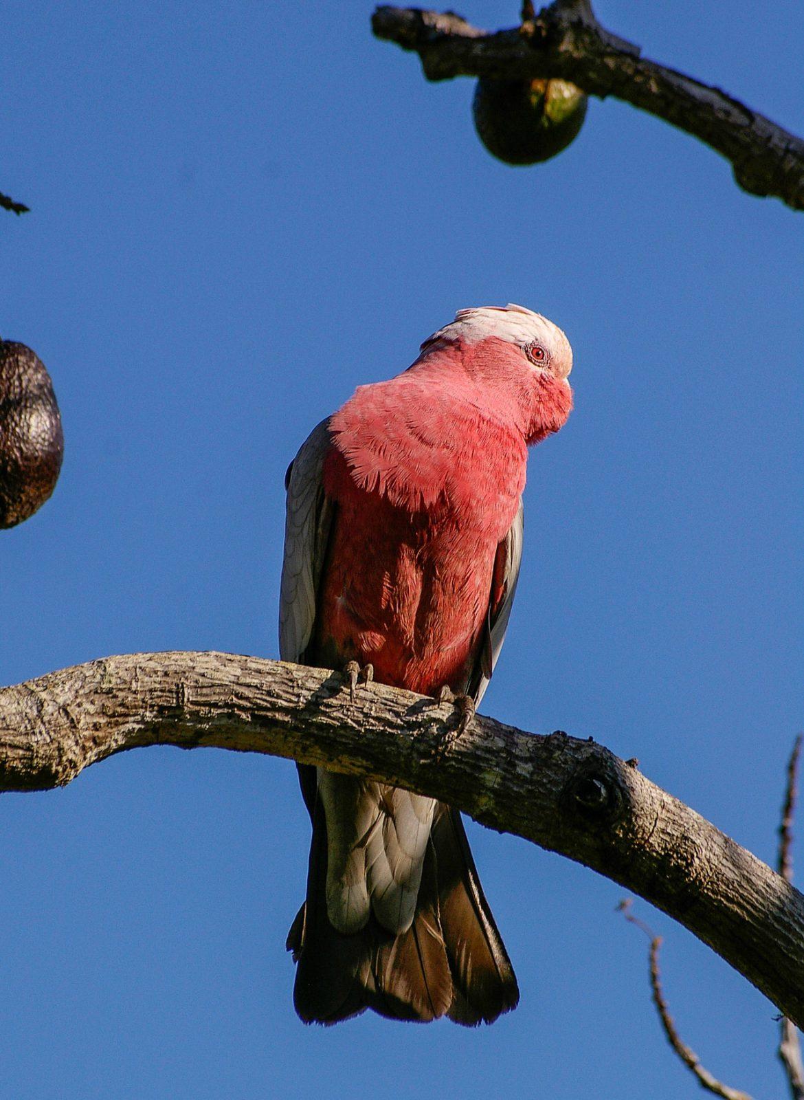 A cacatua é uma ave dócil e sociável.