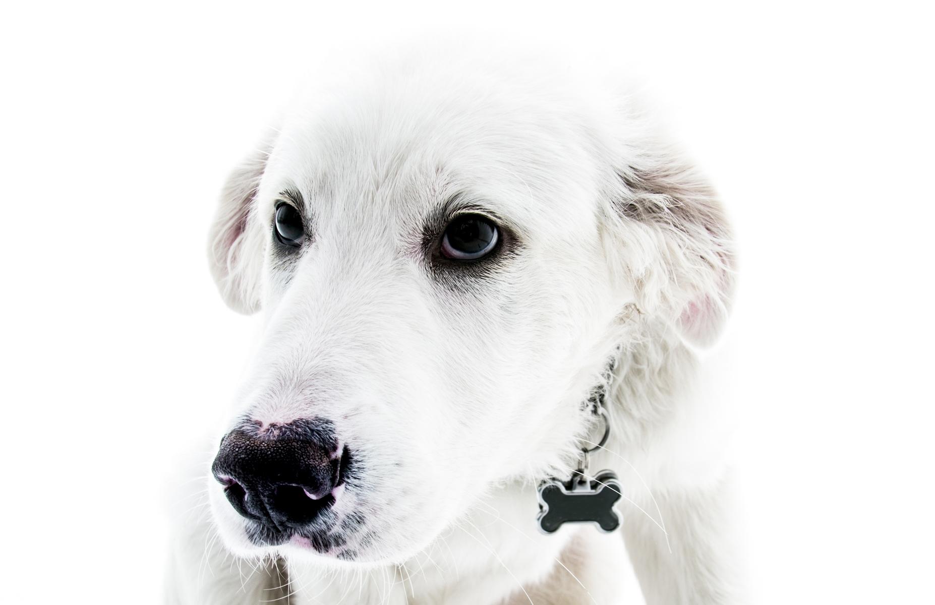 cachorro branco - Akbash