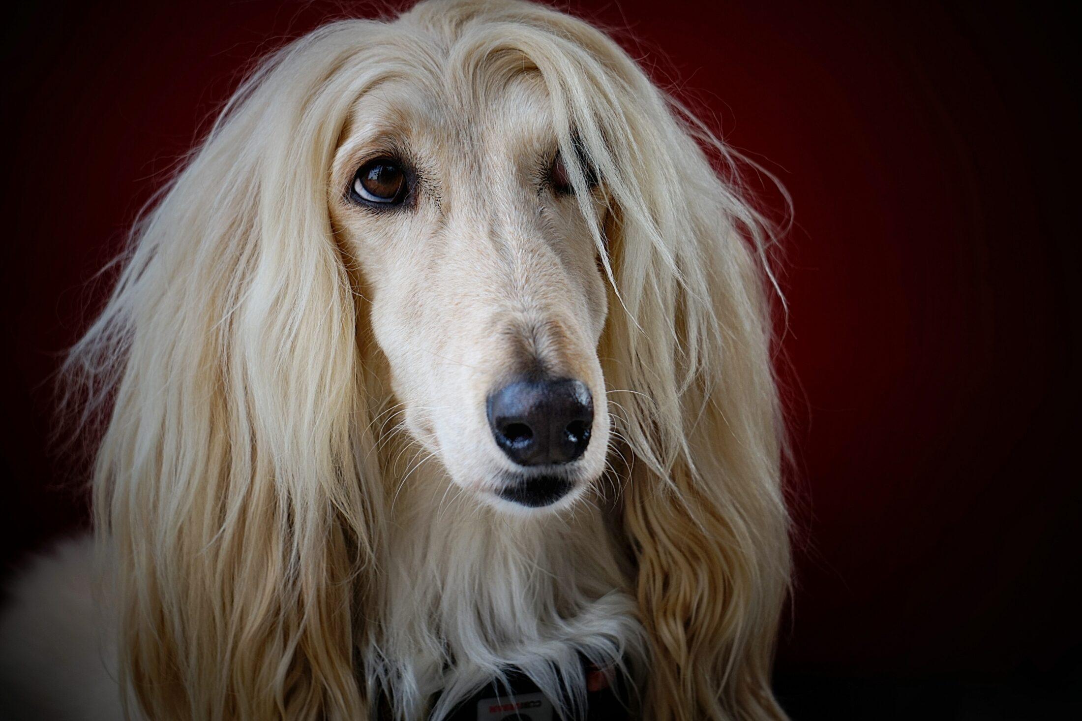 cachorro branco - afgan hound