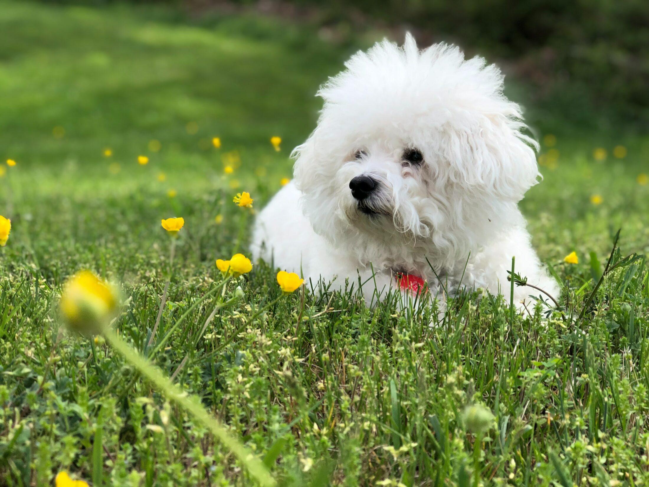 cachorro branco - bichon frise