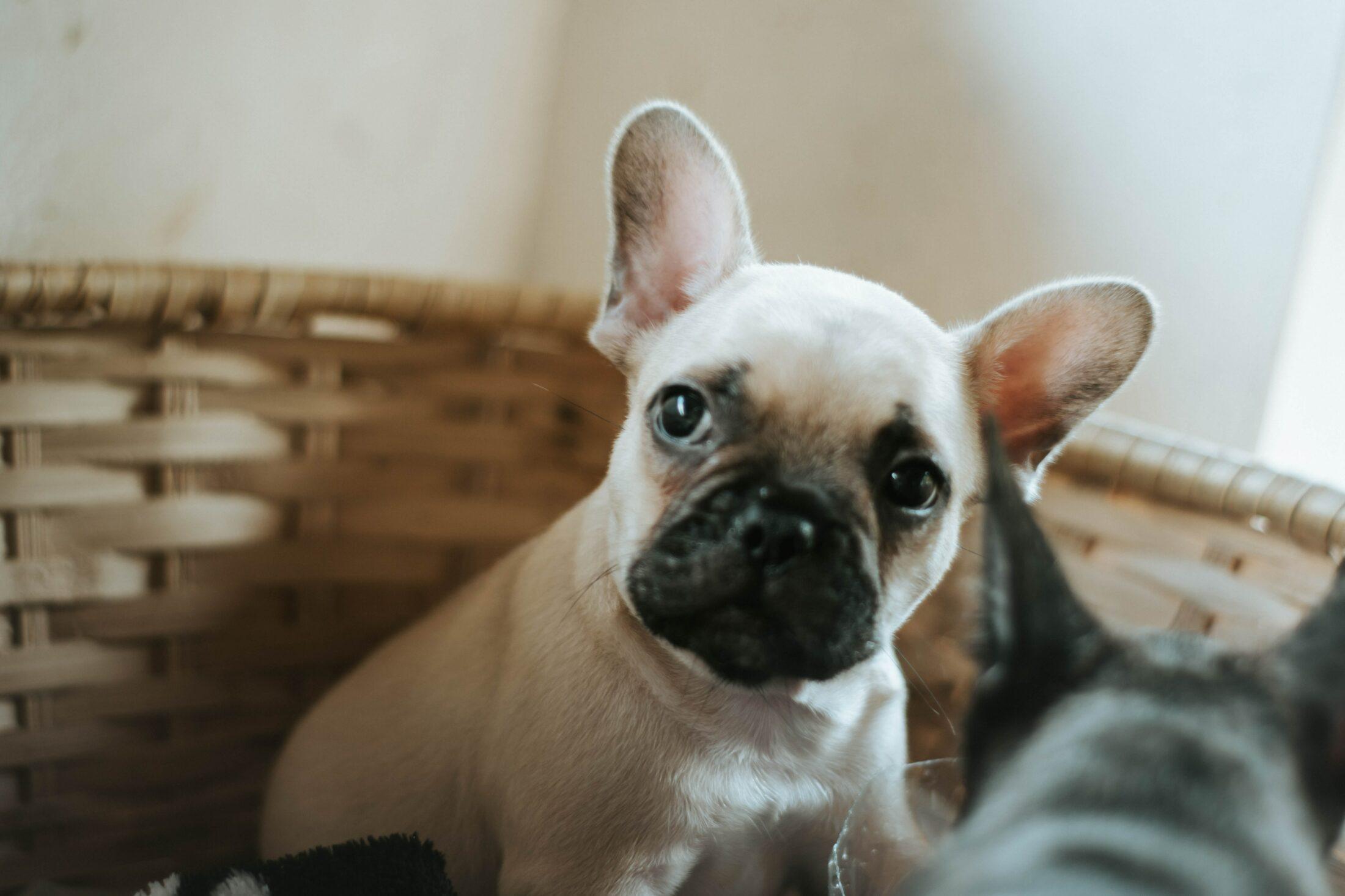 cachorro branco - buldogue frances