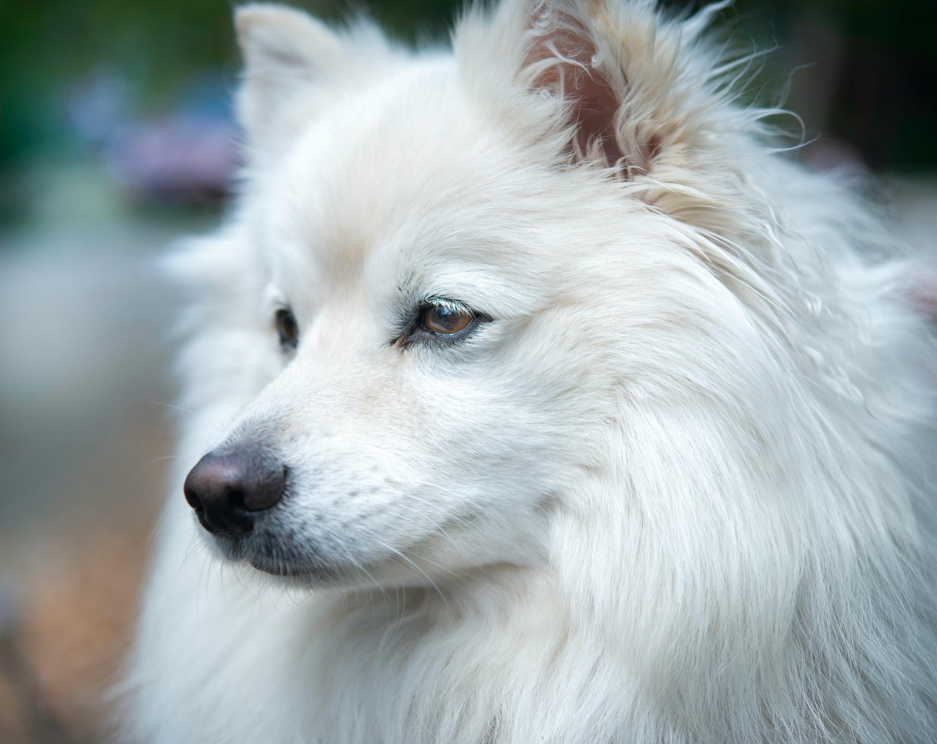 cachorro branco - cao esquimo americano