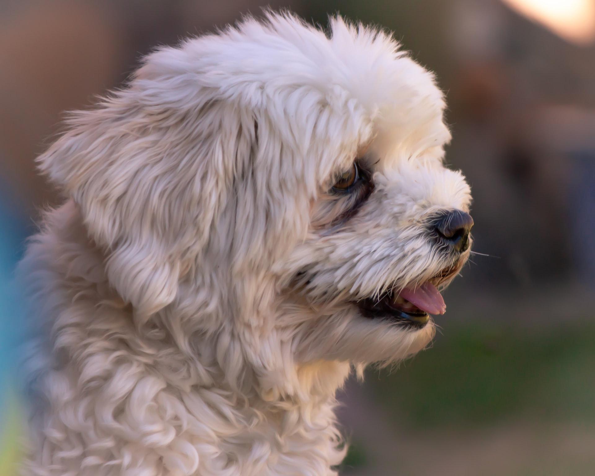 cachorro branco - havanes