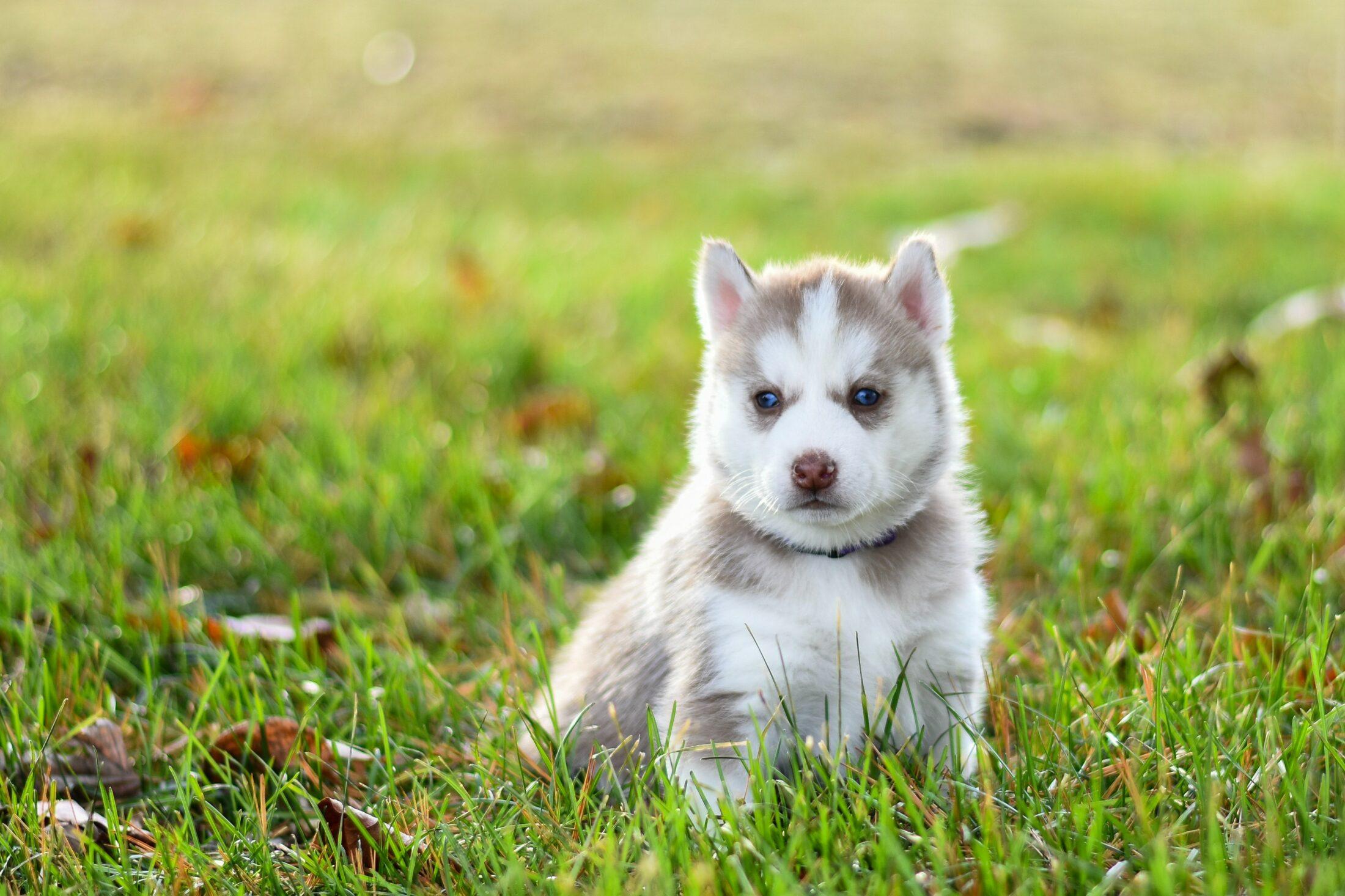 cachorro branco - husky