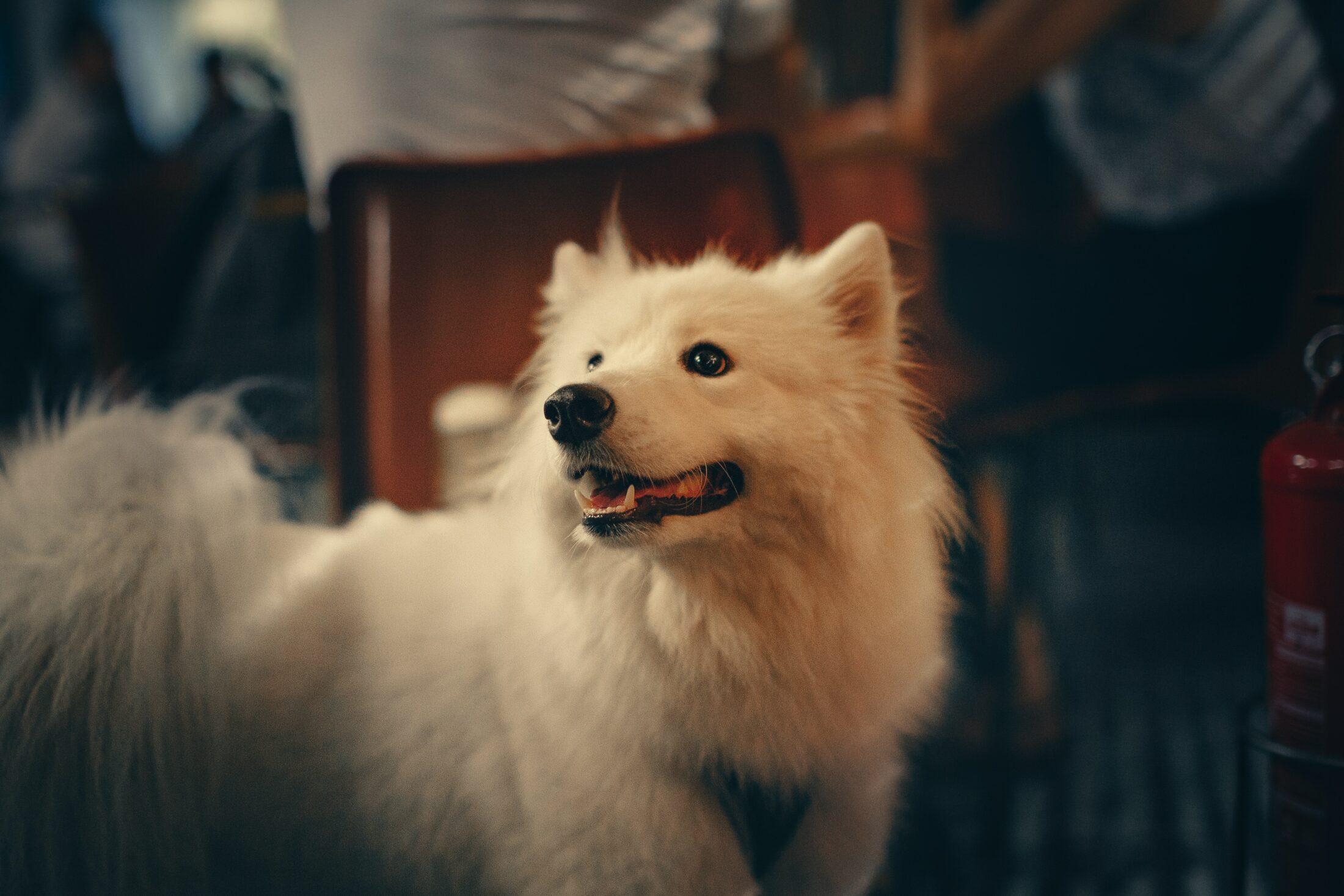 cachorro branco - samoieda