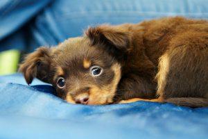 cachorro-castracao-esterilizacao
