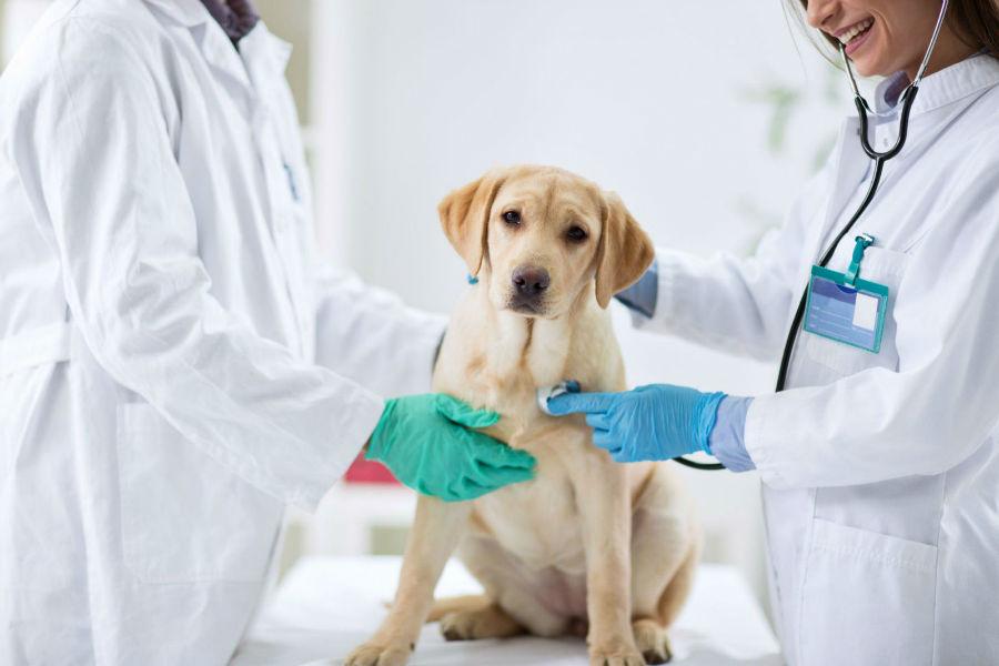 Castração de cachorro: Labrador retriever sendo examinado antes da operação de castração