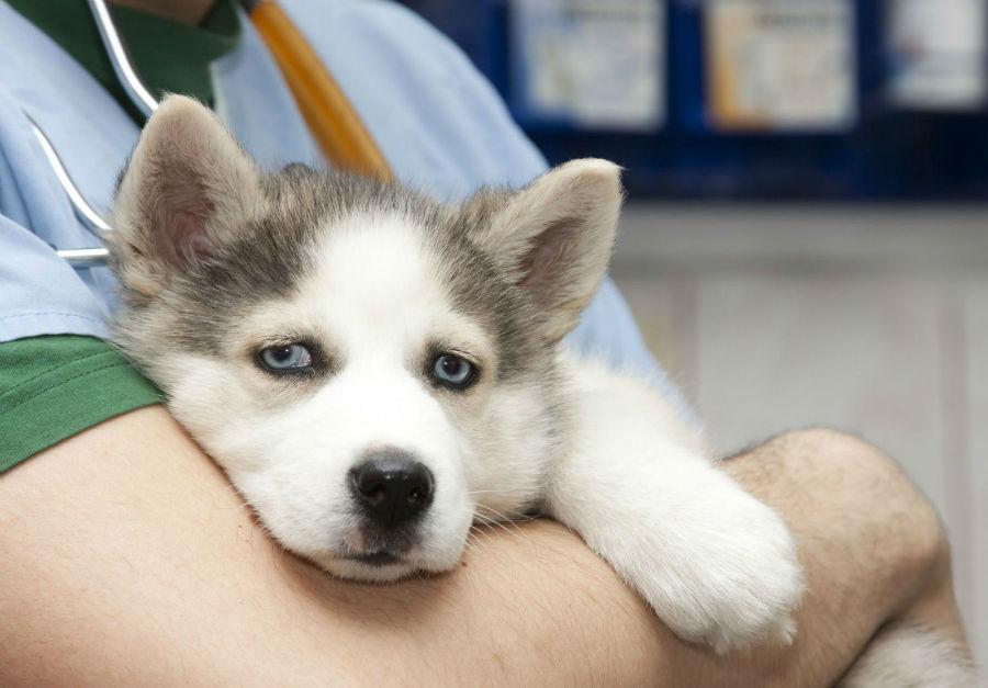 Castração de cachorro: Husky Siberiano no colo do veterinário