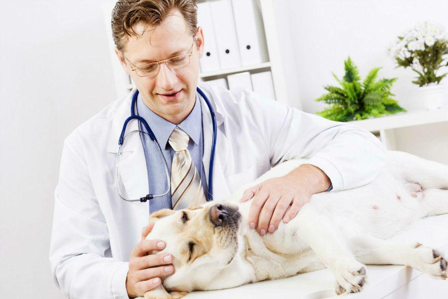 Castração de cachorro: Labrador fazendo exame veterinário.