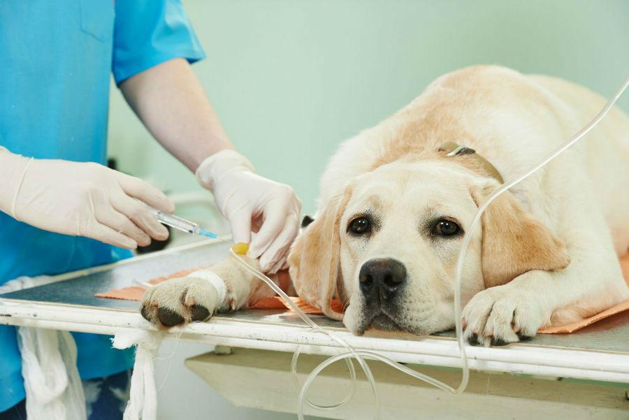 Castração de cachorro: Labrador retriever se preparando para o pós operatório