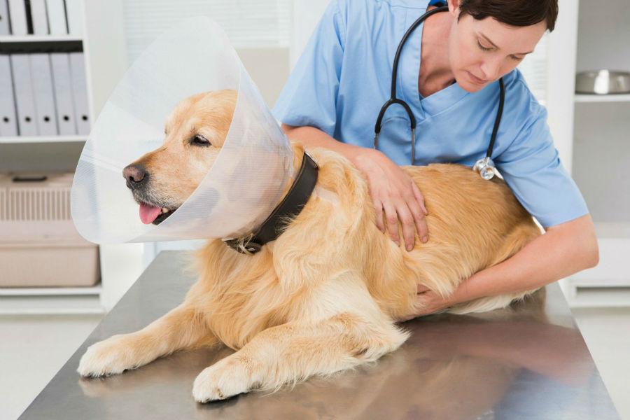 Castração de cachorro: Golden retriever sendo preparado para operação de esterilização