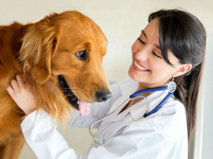 Castração de cachorro: Golden retriever e sua veterinária.