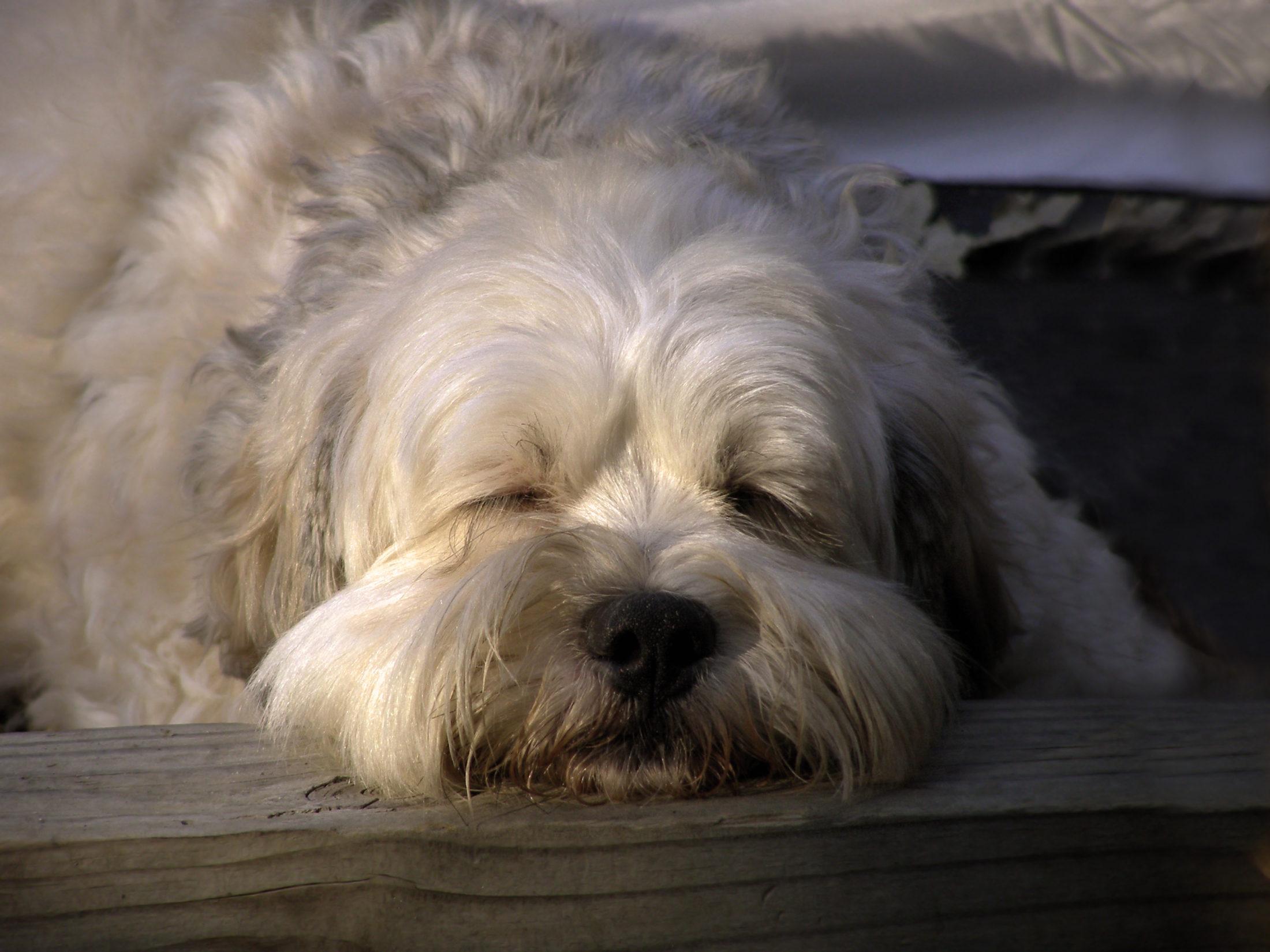 cachorro castrado descansando