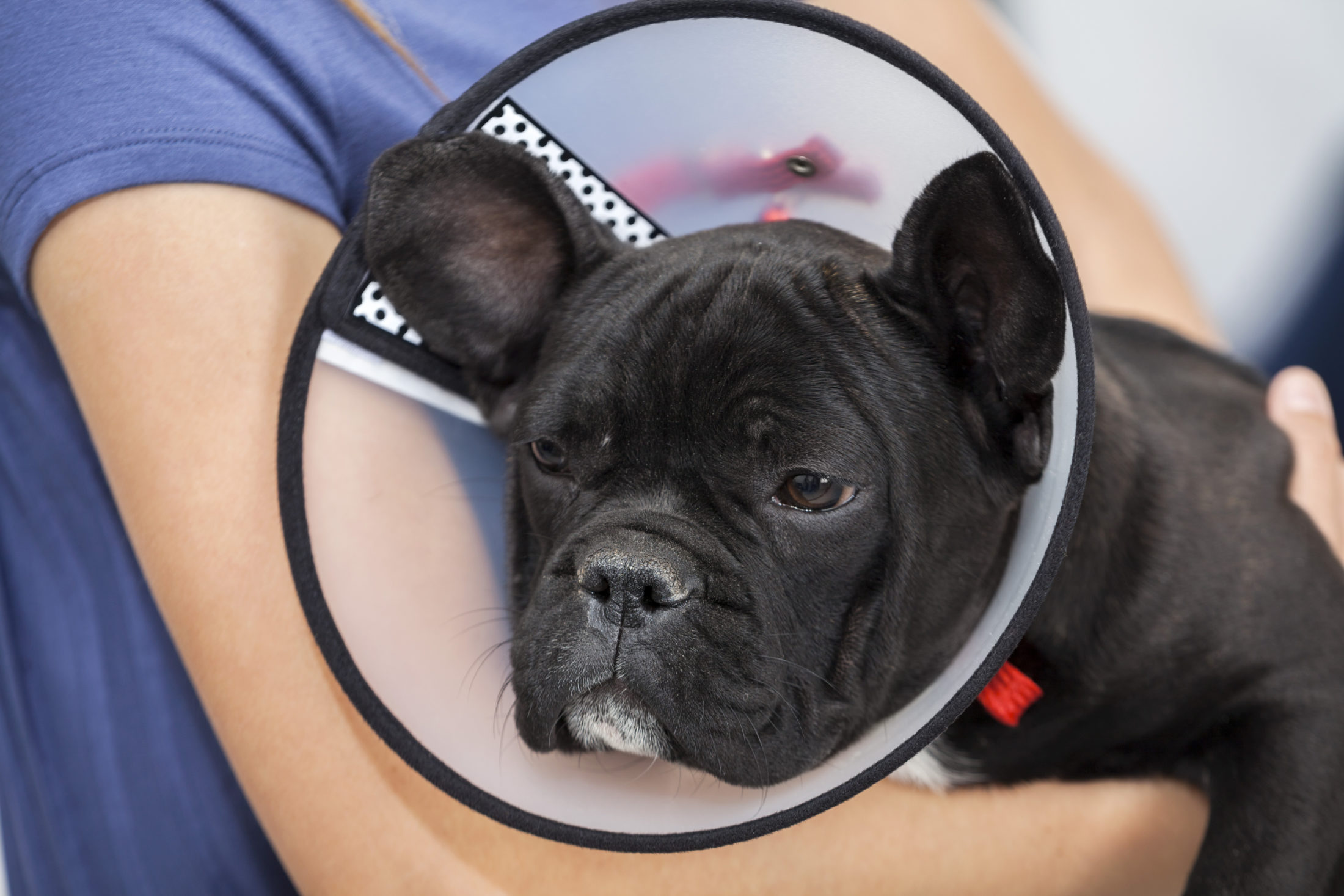cachorro castrado usando colar de proteção