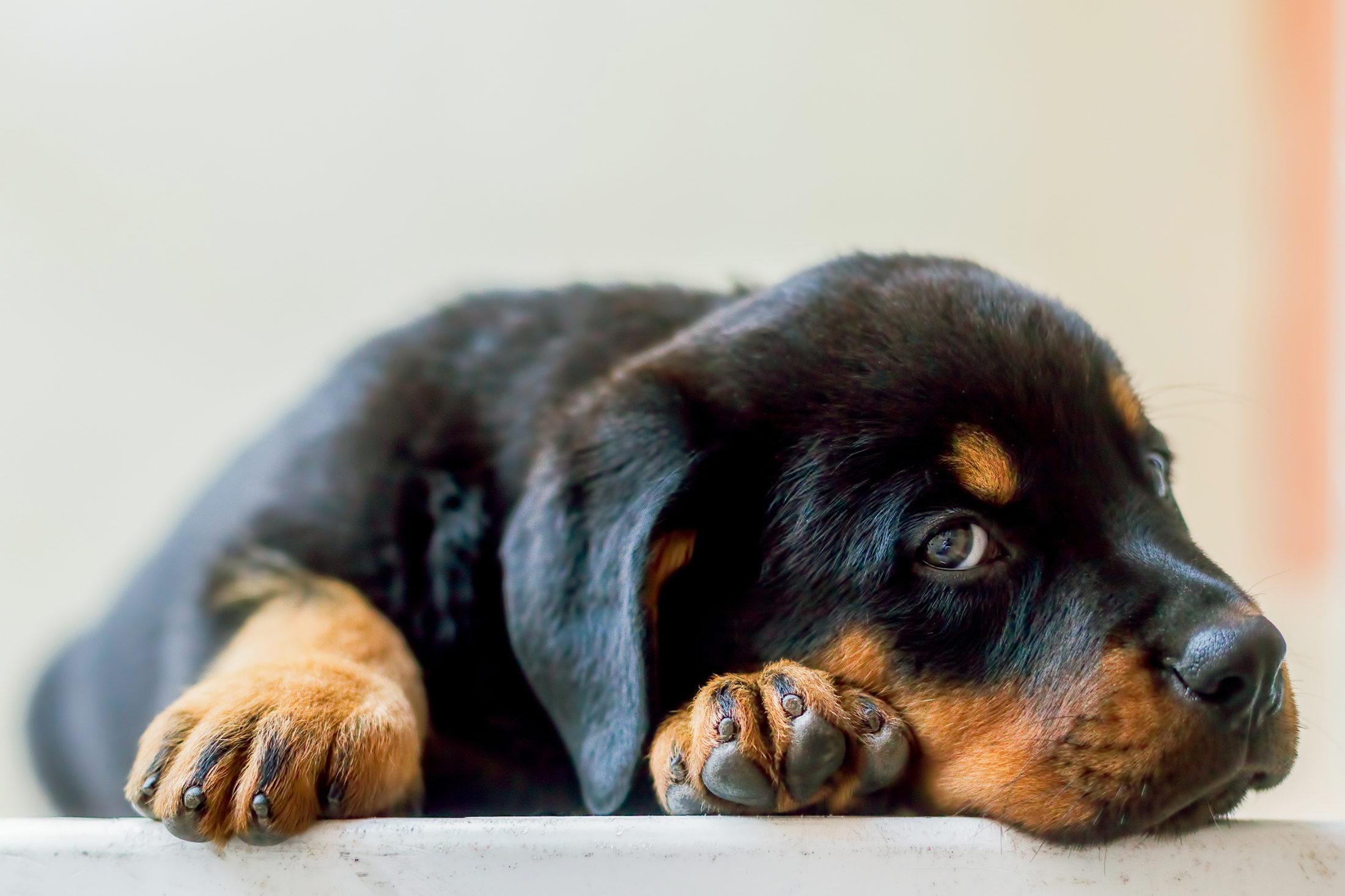 filhote de cachorro castrado deitado
