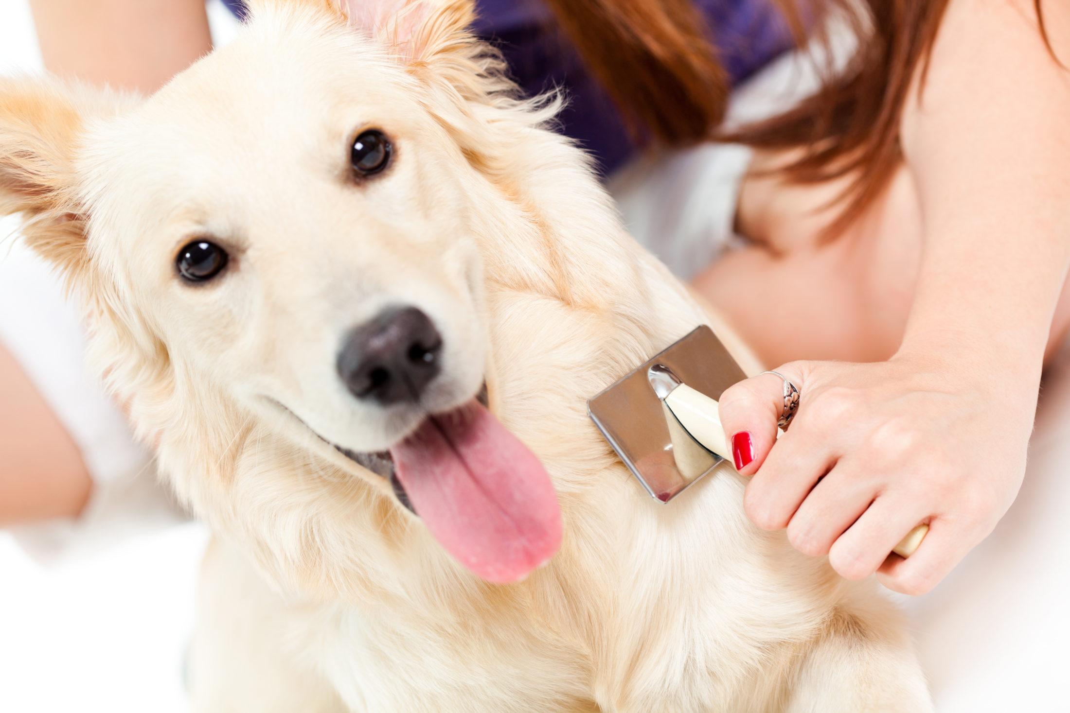 cachorro castrado sendo escovado