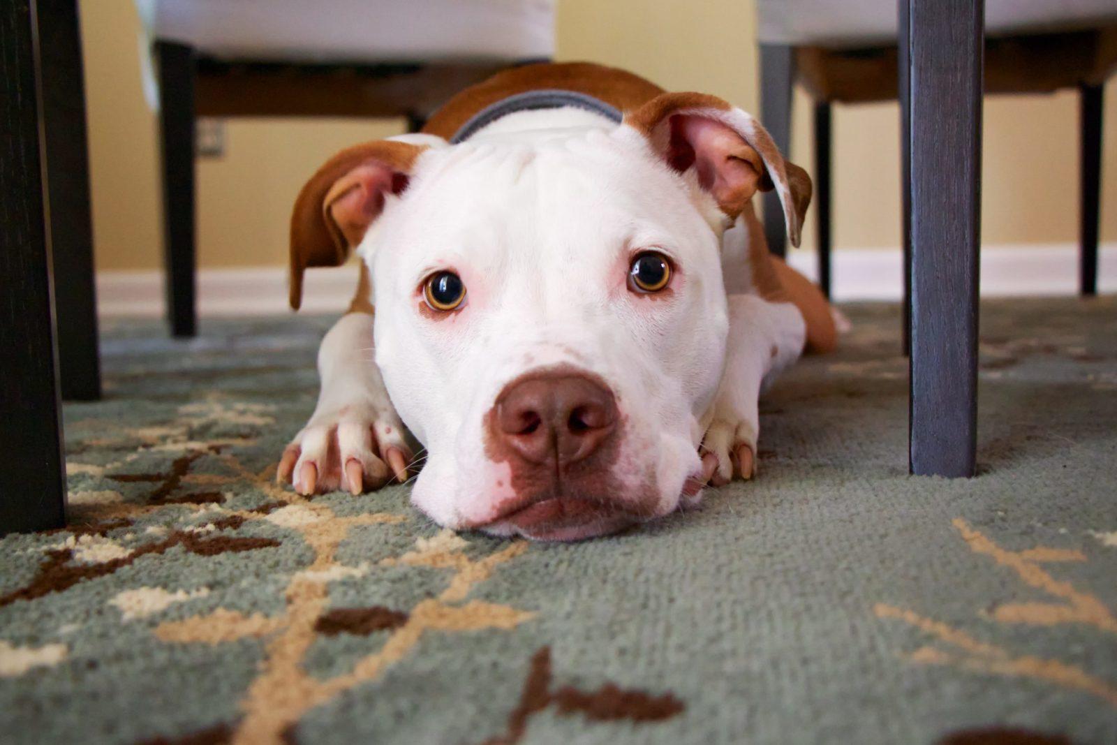 cachorro ciumento