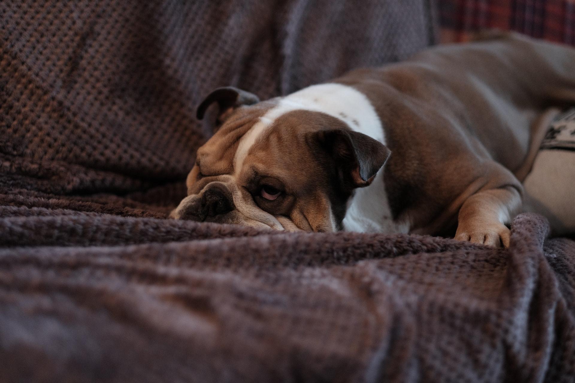 cachorro com alergia buldogue ingles