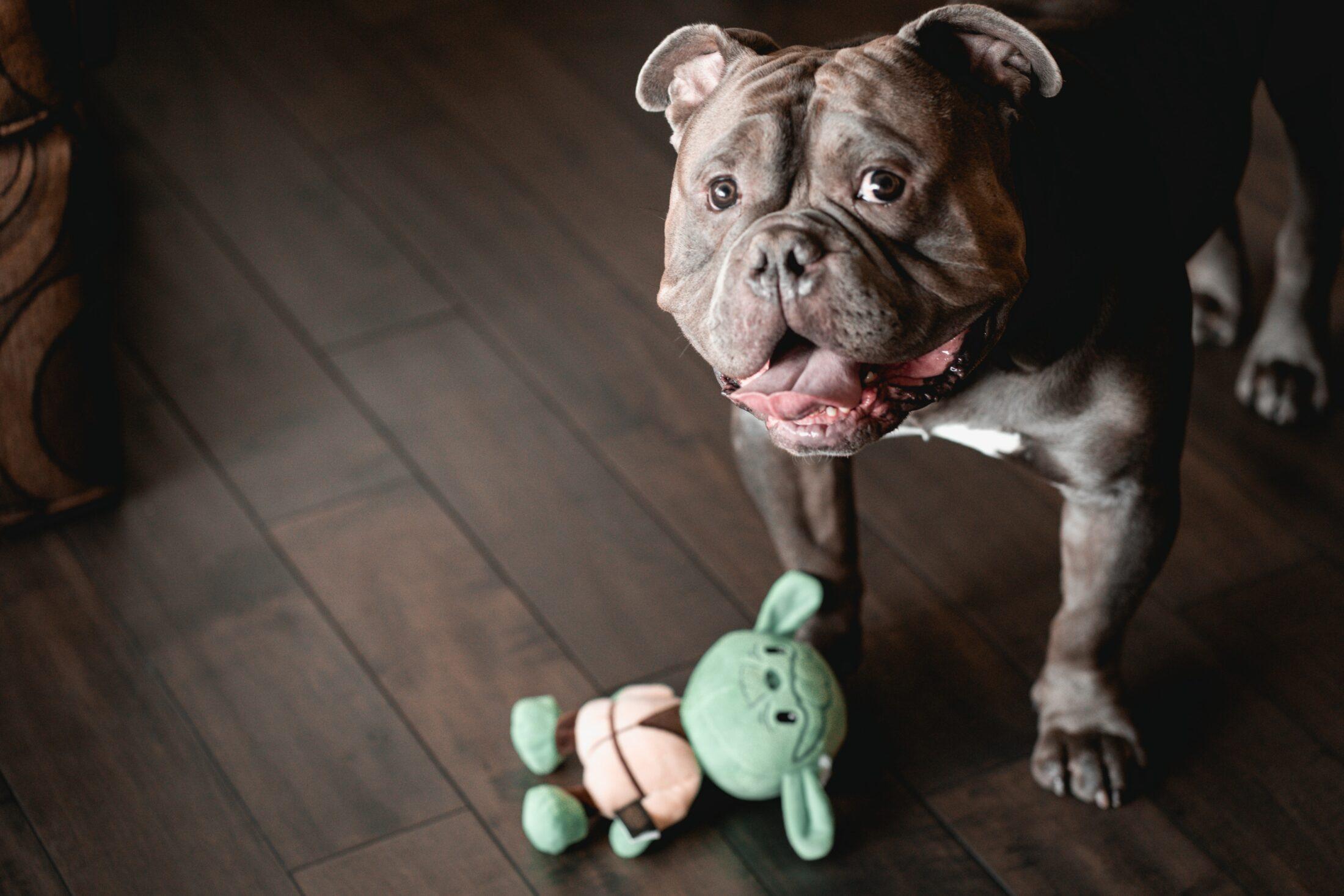 cachorro ocm ciúmes chamando atenção do dono trazendo brinquedo