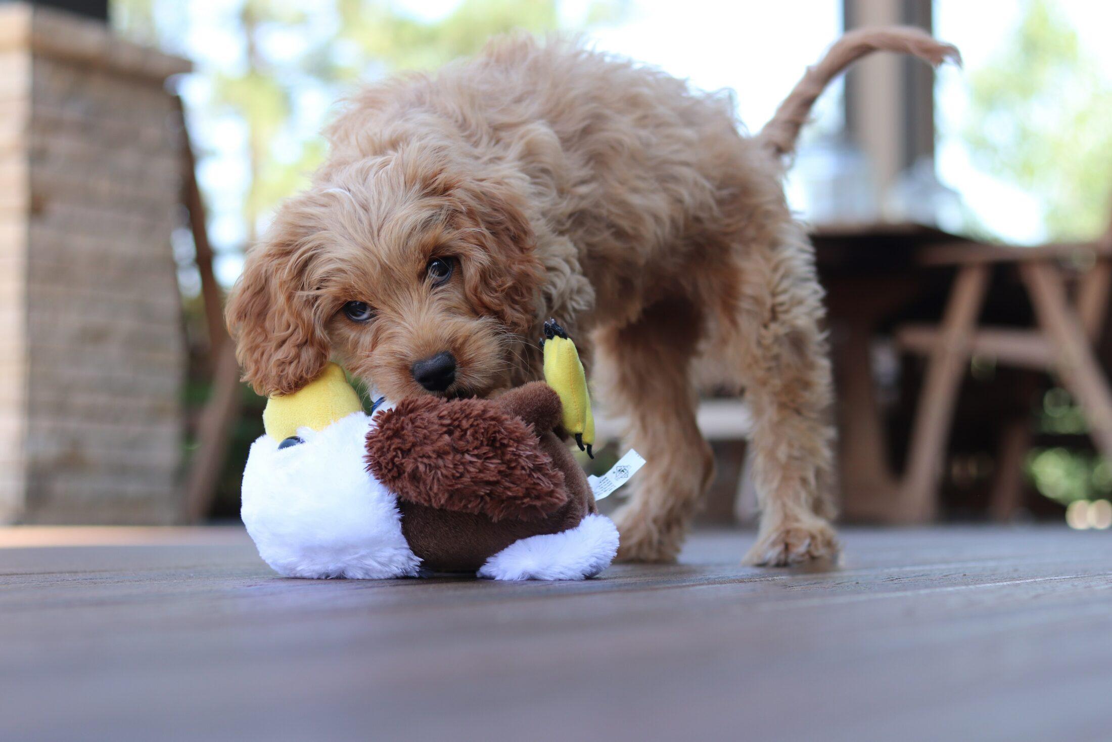 cachorro ocm ciúmes destruindo brinquedo de pelucia